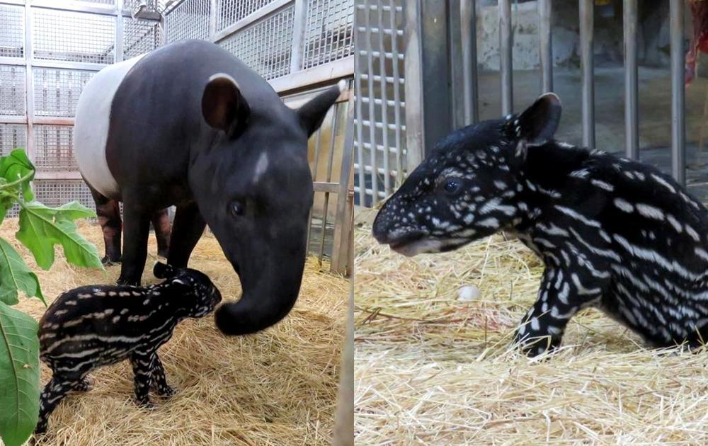 北市動物園馬來貘寶寶亮相大秀「保護色」!媽媽貘芳曾出演《少年Pi》