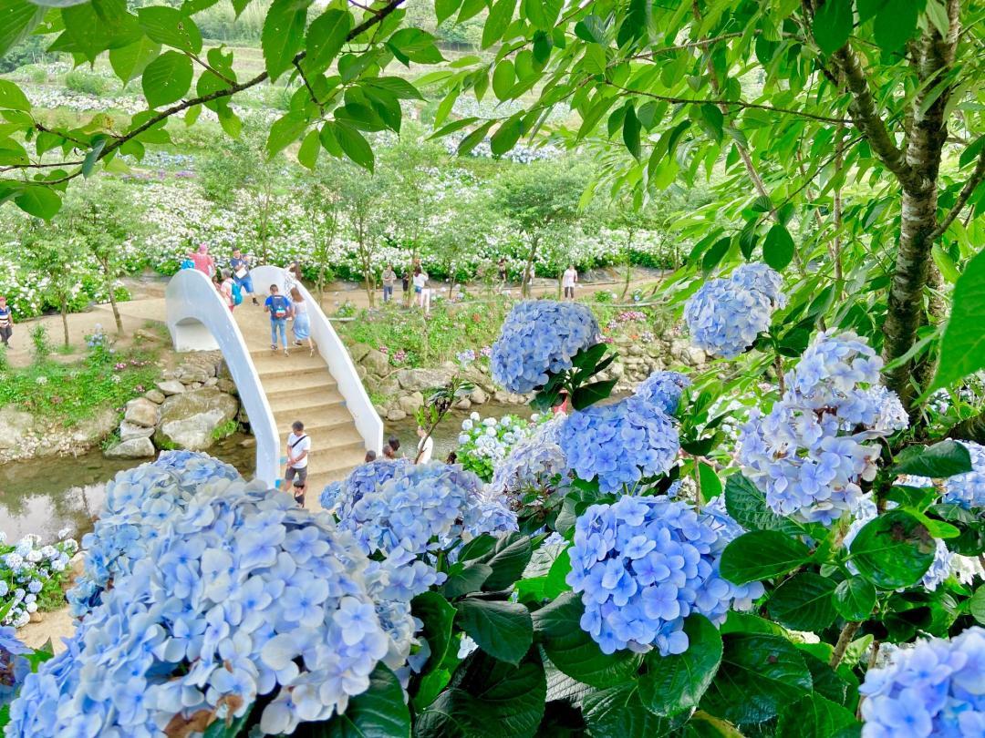 北部最大「高家繡球花田」母親節滿開!打卡免門票賞8800坪漸層花海