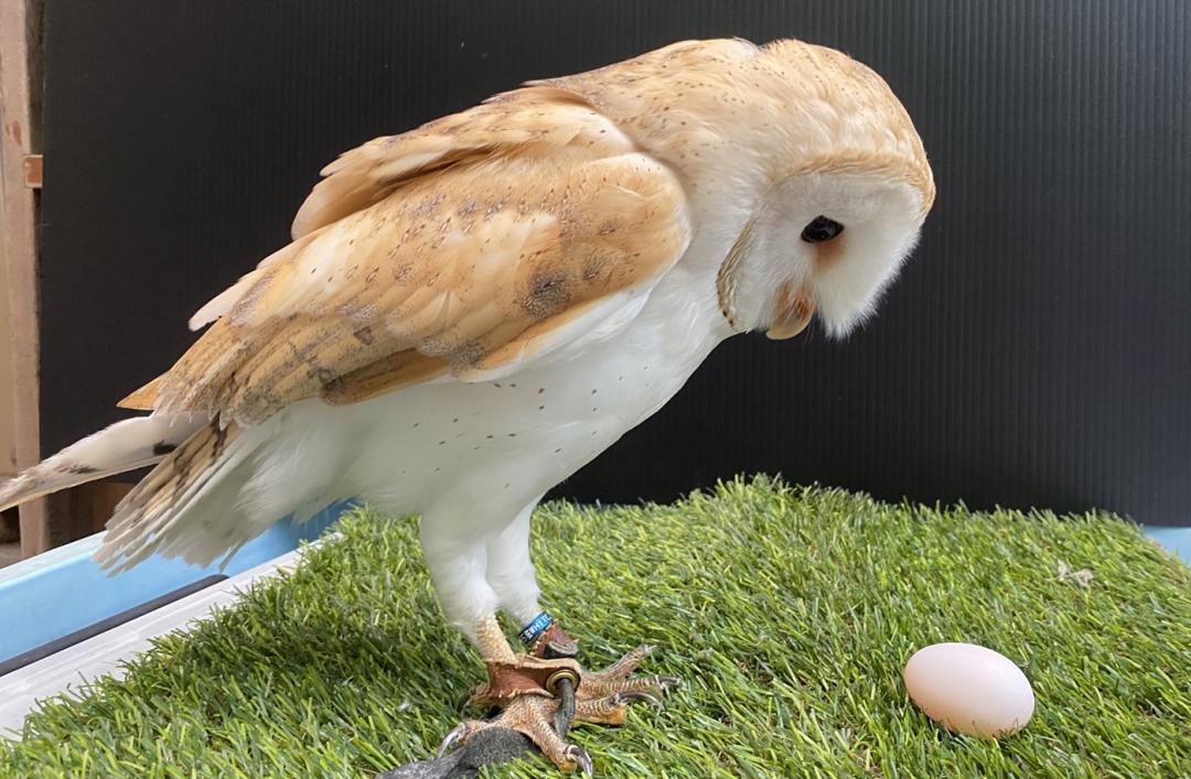 公鳥竟然會下蛋?低頭猛盯「懷疑鳥生」園方急幫倉鴞改性別