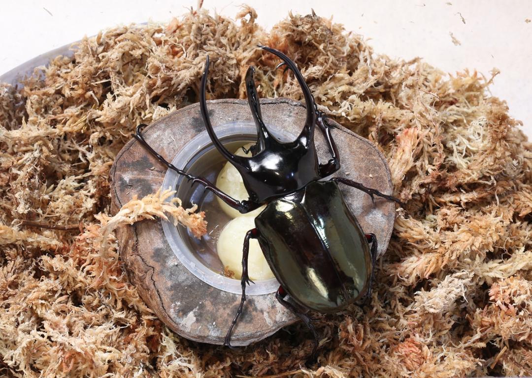 小學生瘋甲蟲!飼養懶人包》不住獨立套房就幹架、成長 4 階段先知道