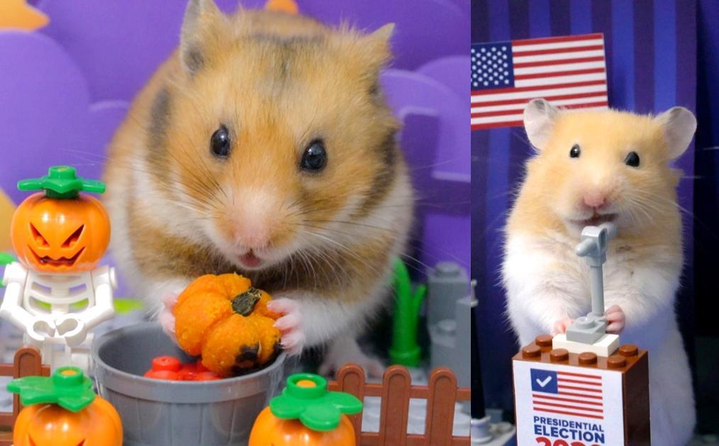 超萌倉鼠狂嗑南瓜開萬聖趴!神預測「美國大選」結果出爐網友都笑了