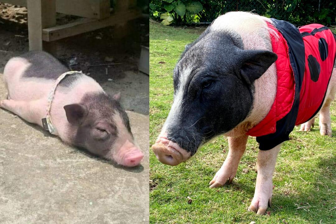 別再說「當豬養」!飼養寵物豬比你想像中來得困難