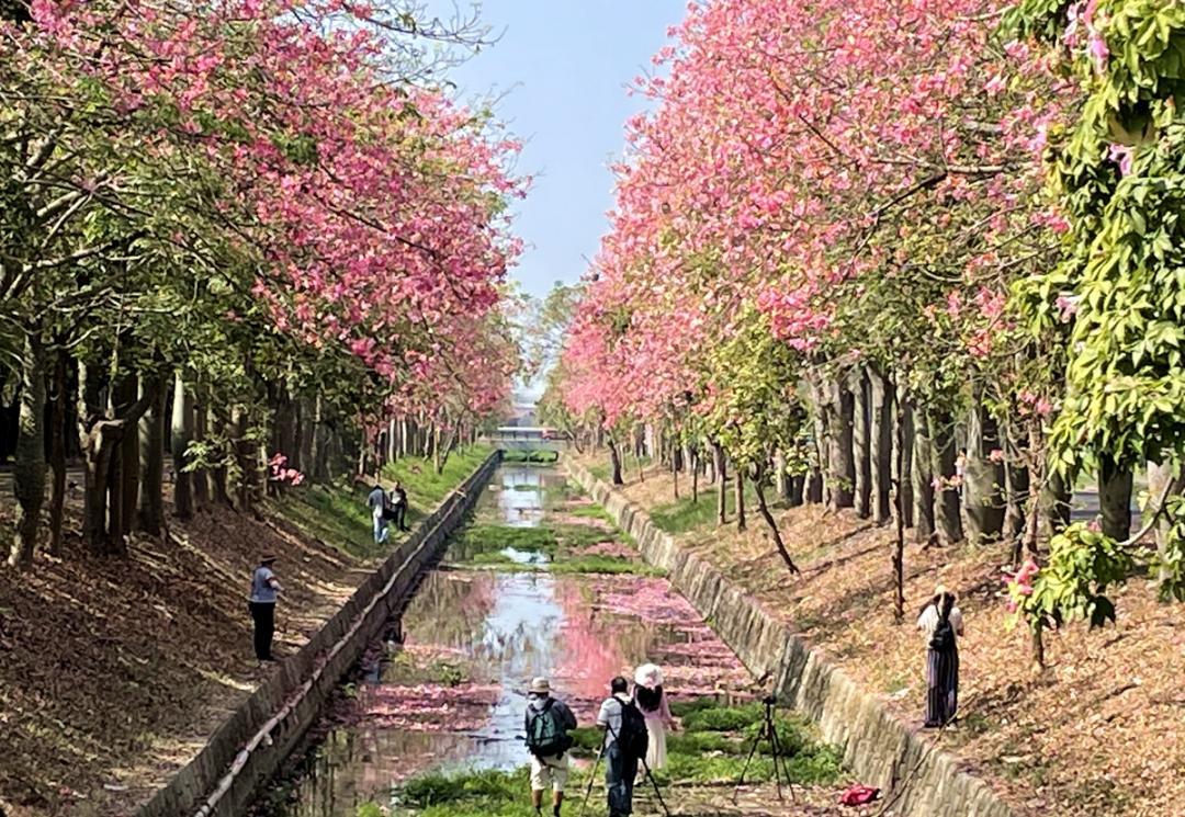 「台版櫻花大道」綿延 2 公里花海炸開!雲林虎尾美人樹倒映粉紅河渠