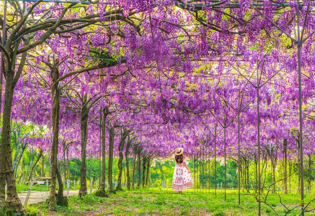 全台最大「淡水紫藤花園」宣告賣樹歇業!最後賞花開放日公布