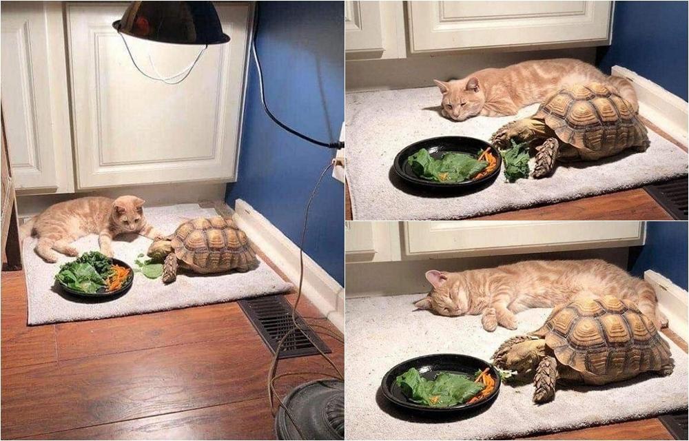 想要一起玩!貓咪等烏龜好友吃飯「等到睡著」超萌畫面曝光