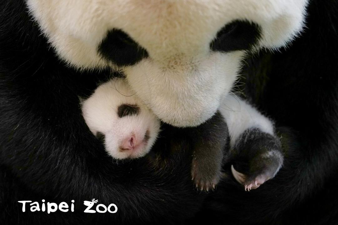大貓熊二寶妹命名票選將開跑!喝奶大秀「捲舌功」重到需要雙手抱