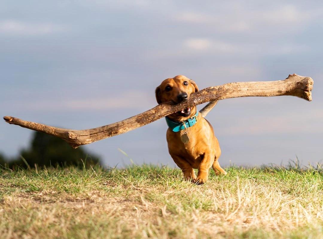 臘腸叼超長樹枝「霸道」散步!網友:想跟牠玩「你丟我撿」有難度