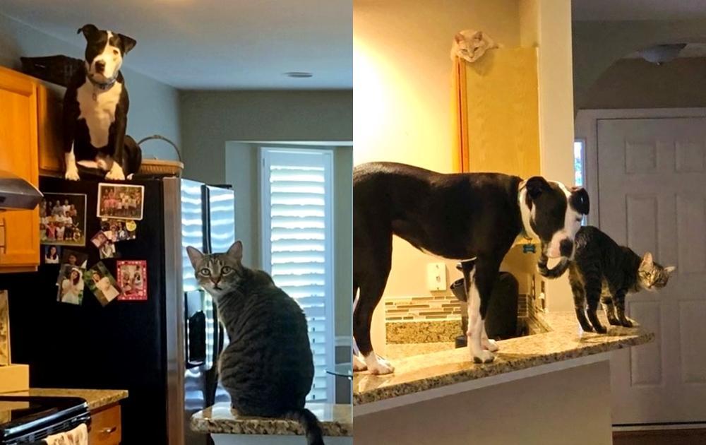 翻肚撒嬌、跳冰箱...這隻比特犬有「貓靈魂」!無違和融入貓家庭