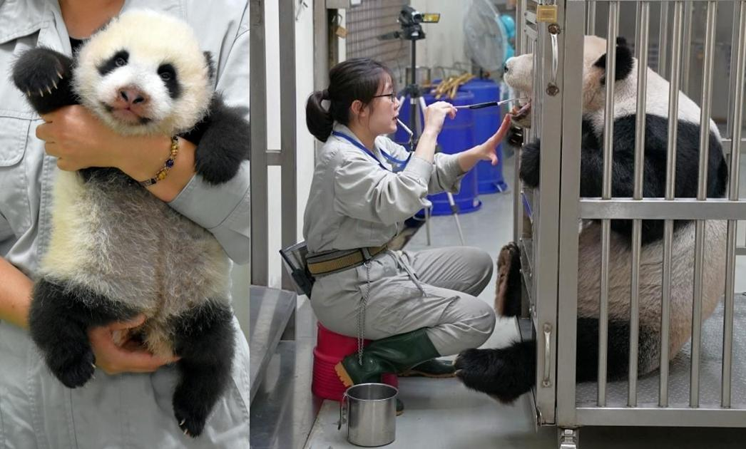 每天抱貓熊好幸福?動物園揭保育員不為人知艱辛