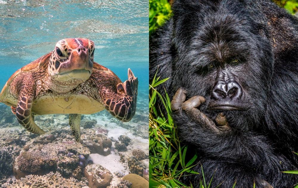 海龜比中指、大猩猩厭世臉!「搞笑動物攝影獎」最佳人氣獎10/22公布