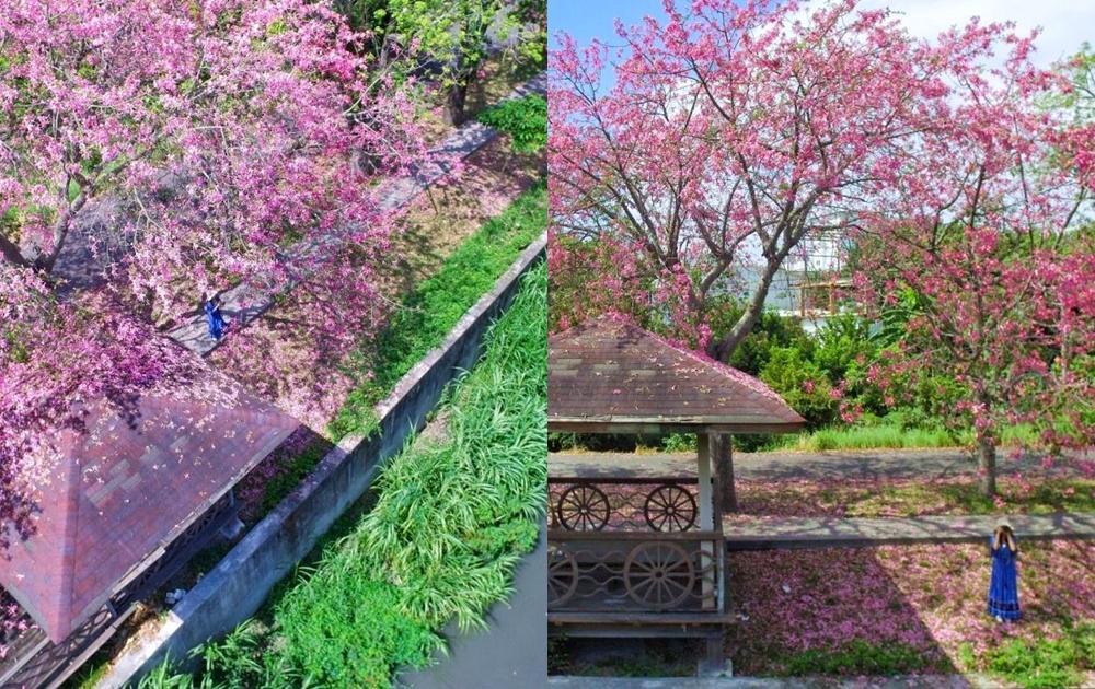 全台最早盛開「美人樹花海」在彰化!粉紅河堤媲美日劇場景