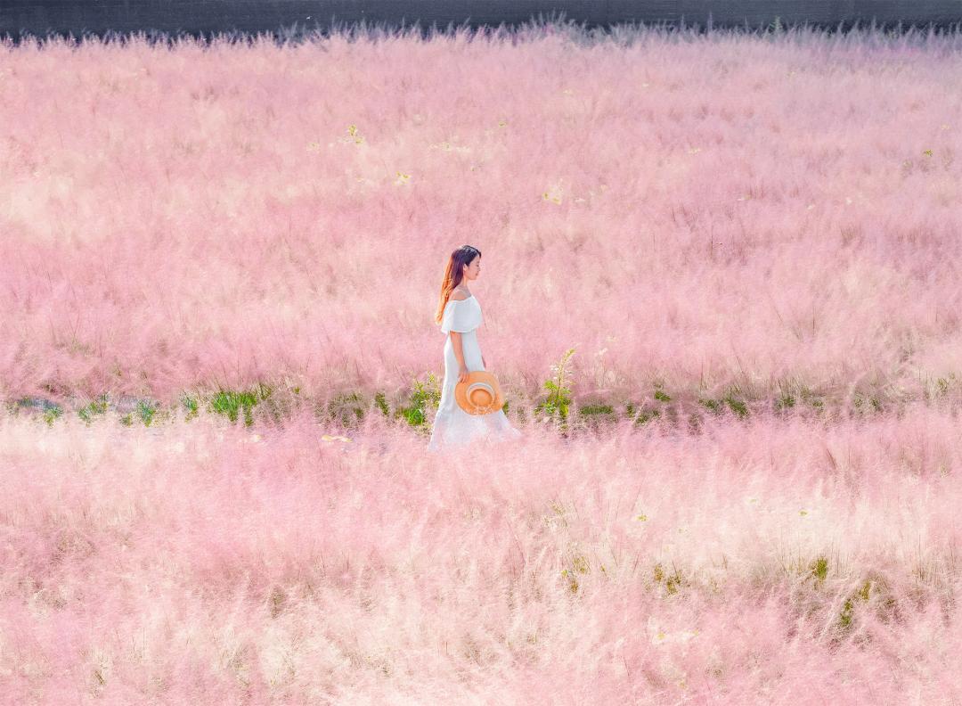 全台唯一「粉紅棉花糖花海」10月開放!近3千坪韓國粉黛亂子草美如仙境