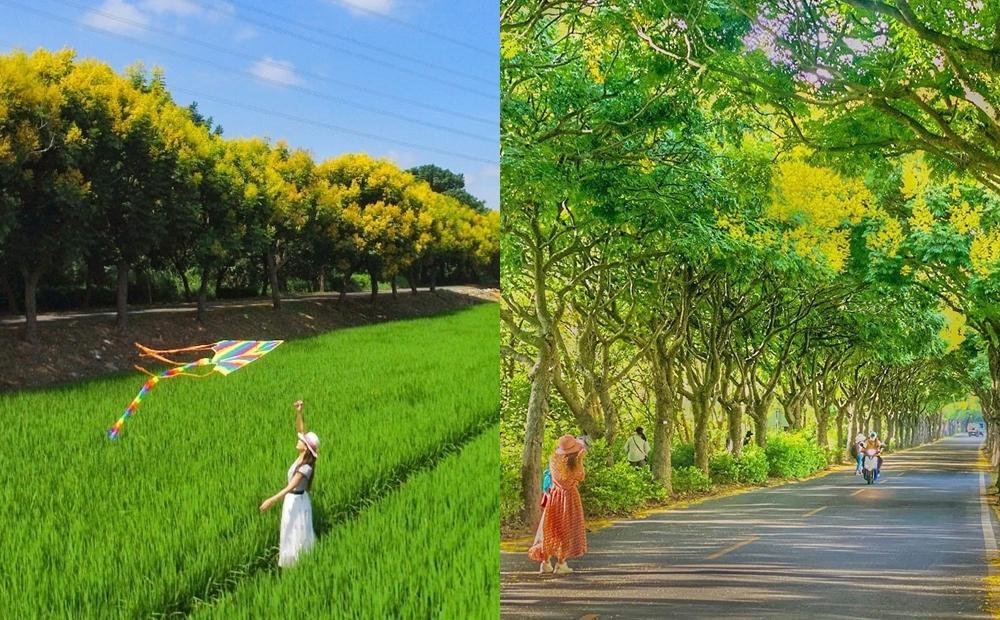 全台最長「台灣欒樹隧道」變身黃金大道!絕美取景角度同框綠油油稻田