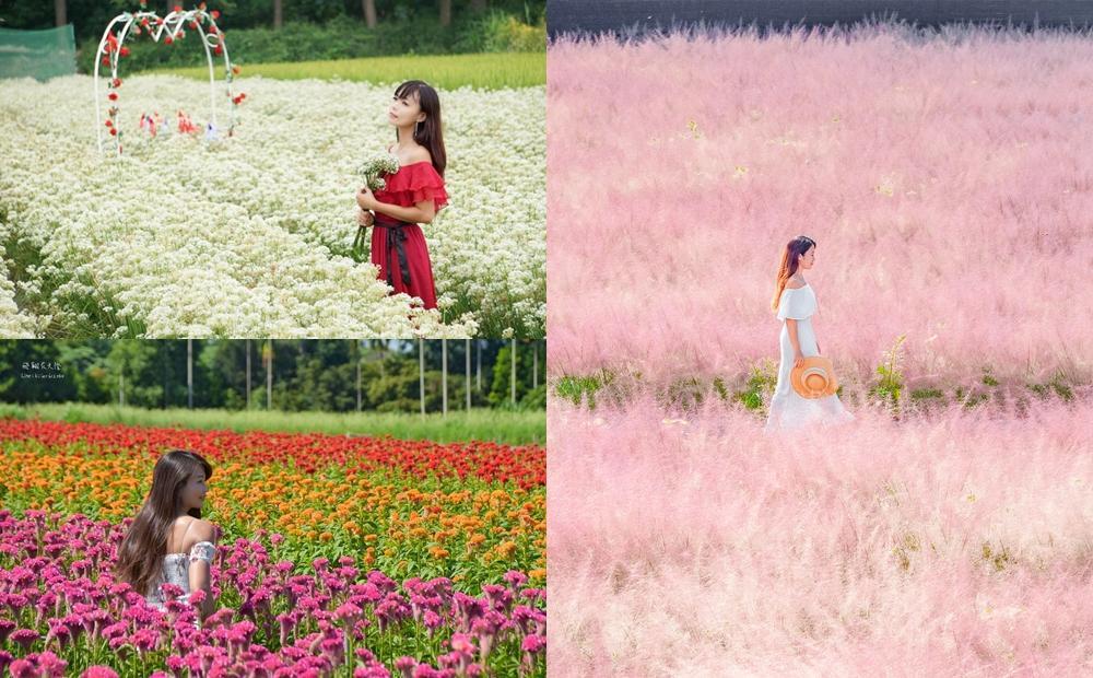 中秋雙十連假6大賞花路線》台版富良野三色花田、粉紅棉花糖花海開得正美