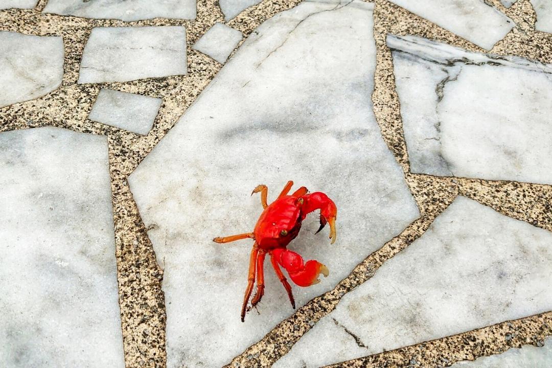 煮熟的螃蟹校園趴趴走?學者呼籲:別當寵物「聖誕蟹」飼養!