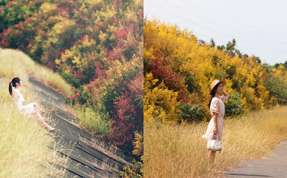 嘉義「四色欒樹秘境」美到雙十連假!秋季限定花海大道避開人潮搶拍