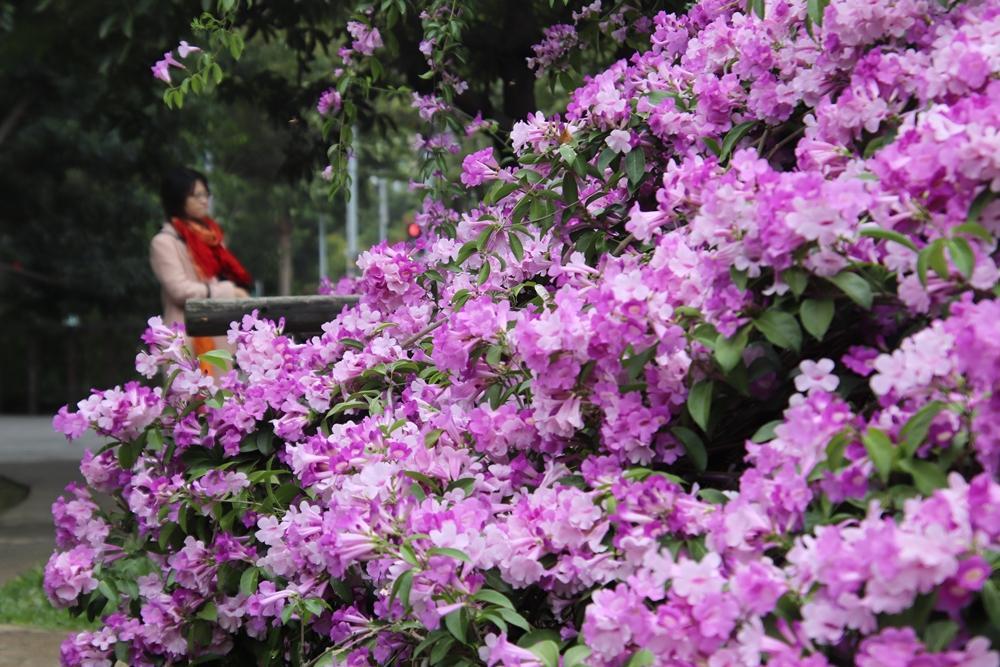 季節限定!新竹新瓦屋「蒜香藤紫瀑」滿開,稻草捲心酥一起拍