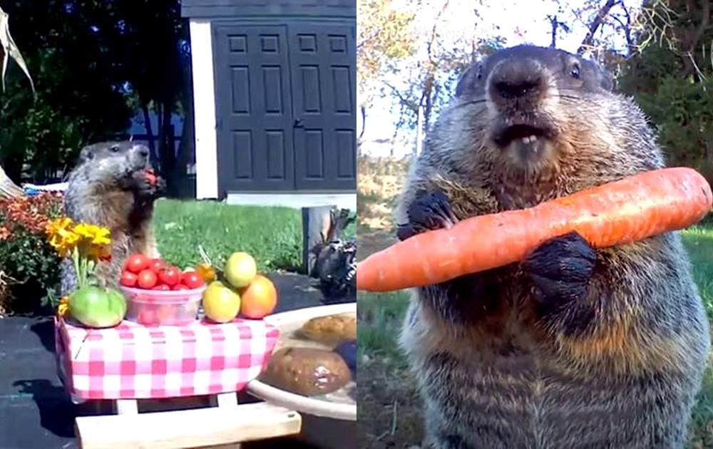 偷菜賊變吃播網紅!超萌土撥鼠揪同伴「野餐吃到飽」全都錄