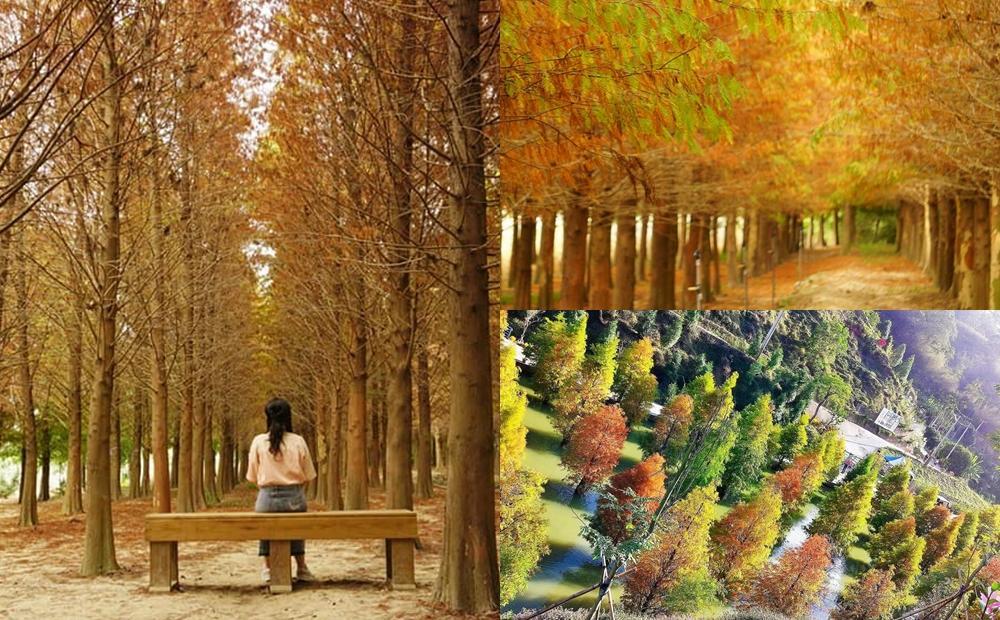 落羽松紅了!全台4處免費景點「水漾森林+三色漸層秘境」彷彿秒飛北歐