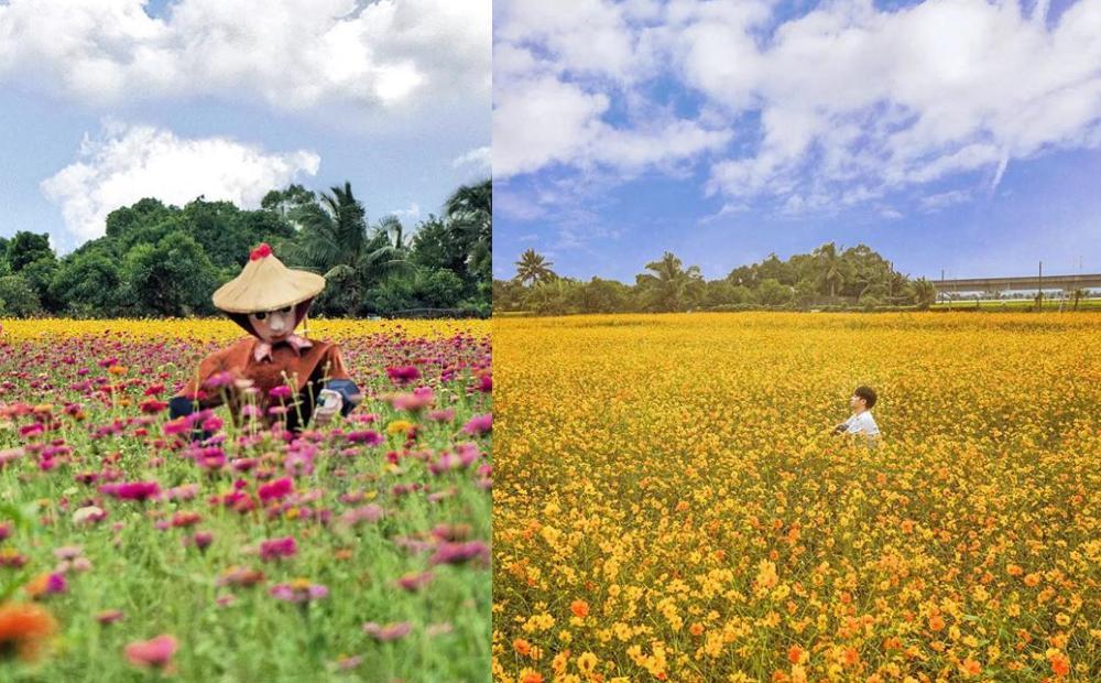 不只新社花毯節!台南33公頃「金黃波斯菊+繽紛百日草」走進花海免費打卡