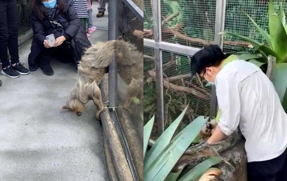 樹懶翻牆逃家實況...「過程長達半小時」!動物園遊客零距離圍觀、手機狂拍