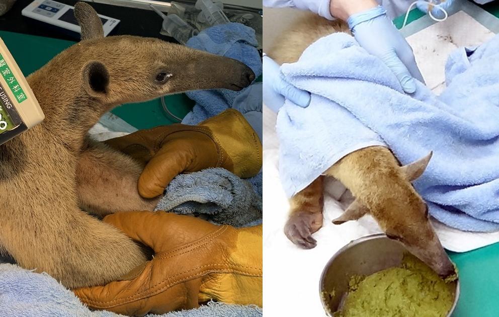 小食蟻獸逃家 3 個月瘦了 1 公斤!北市動物園心疼治療、送上「抹茶蛋糕」