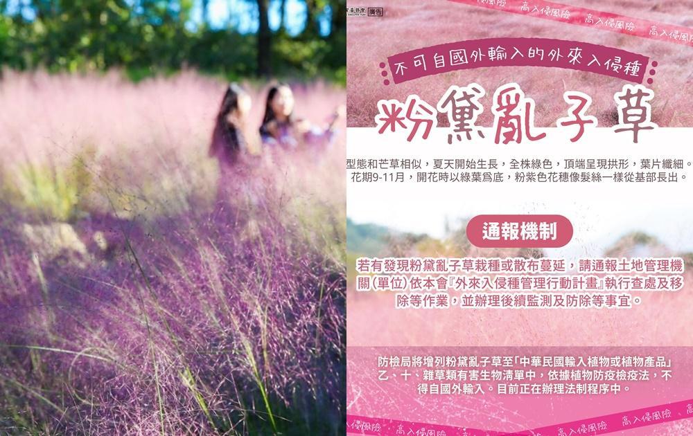 粉紅愛情草釀生態危機?農委會下禁令「粉黛亂子草」列外來危害物種