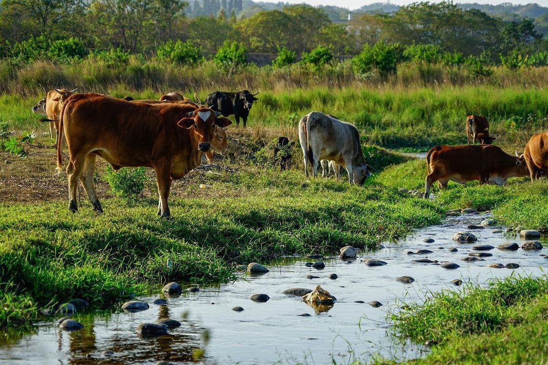 「台版非洲草原大遷徙」200頭牛集體渡溪!彰化私房景點這時段最壯觀