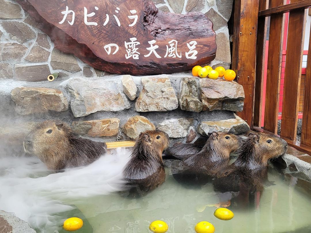 近距離看「水豚君泡溫泉」可愛爆擊!宜蘭親子農場穿浴衣餵小鹿秒飛日本