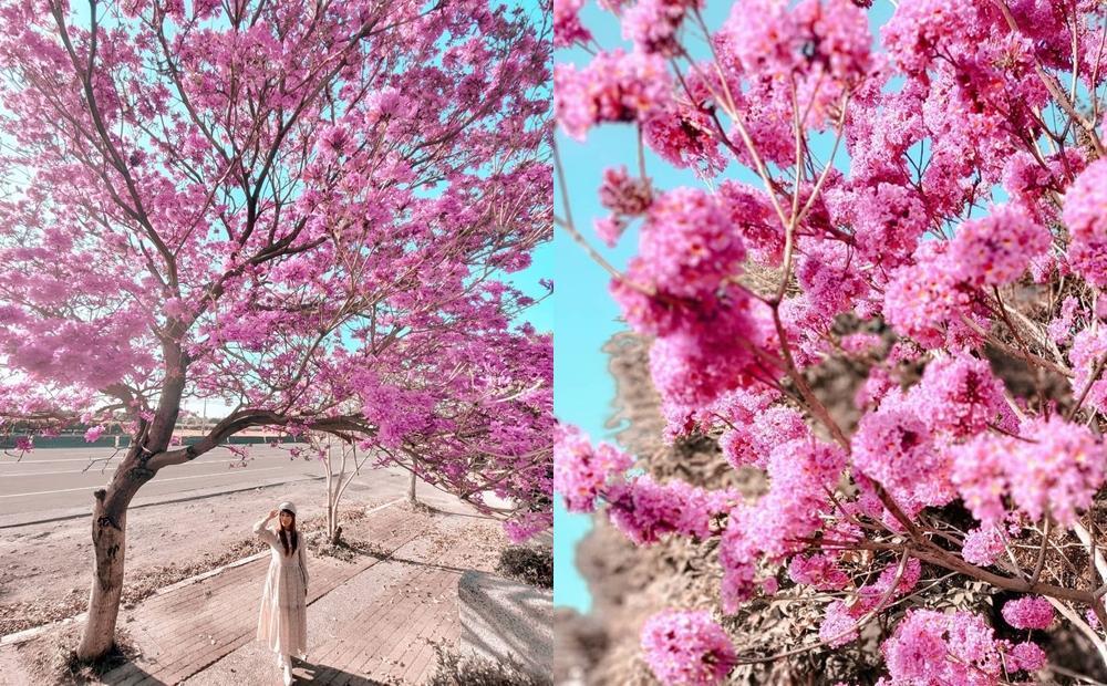 「草莓爆米花」滿炸彰化街道!最早盛開洋紅風鈴木比櫻花更壯觀