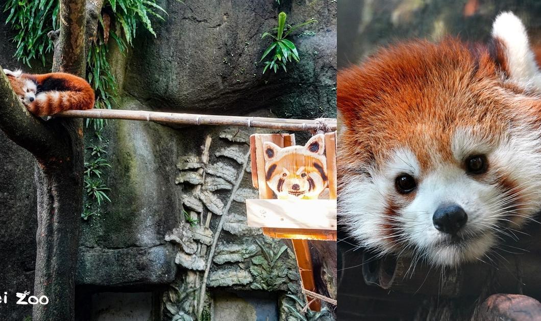 小貓熊「可麗餅」將滿 4 歲!台北市動物園大改造送上新年禮物
