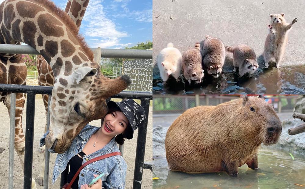 「浣熊洗手討食、長頸鹿熱情親臉」萌翻天!過年走春到老牌動物園體驗新玩法