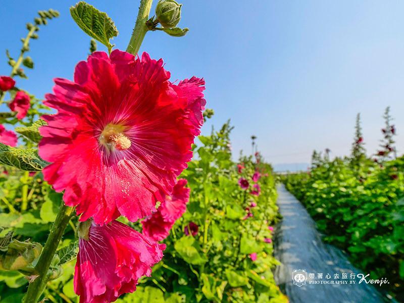 林心如新戲取景成打卡聖地!全台「最大蜀葵花海」新增小番茄園、景觀陶藝