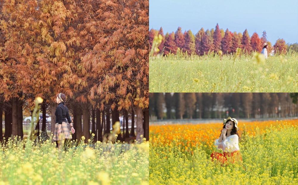 「落羽松、油菜花、波斯菊」3大美景同框!全台漸層花海走春必拍