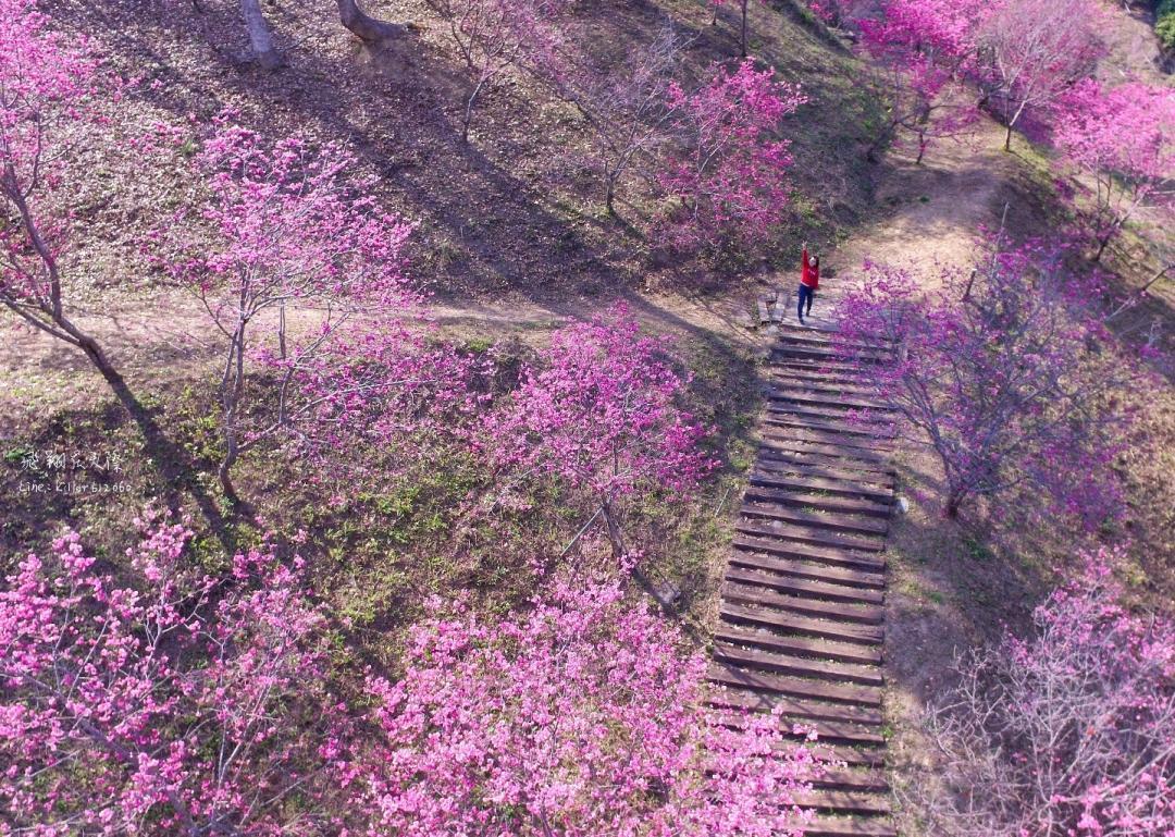 台中超壯觀「濁水巷櫻花林」睽違兩年重新開放!5000棵花樹染紅山谷更美了