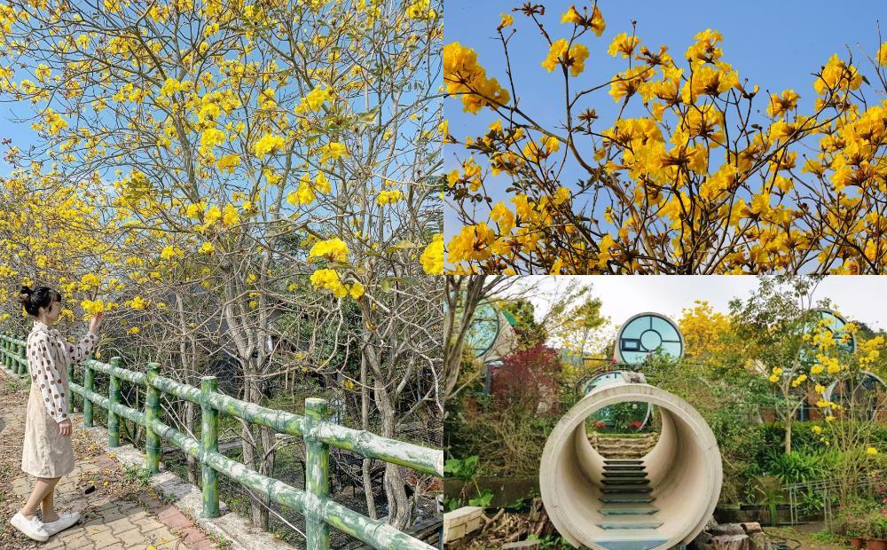 新竹700棵「黃花風鈴木」週末全面爆開!金黃花海、水管隧道免費拍
