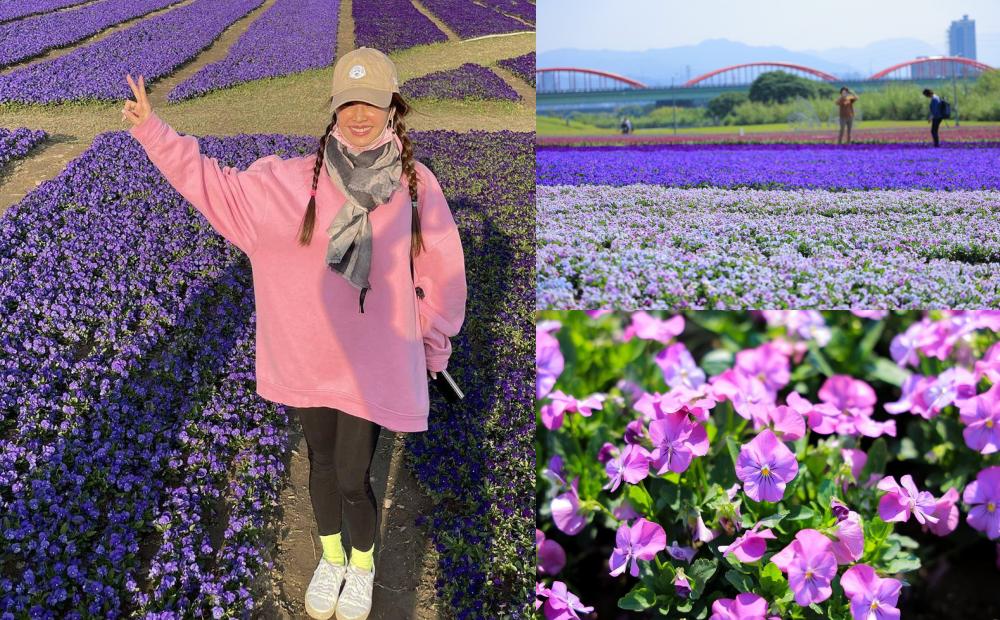 台北古亭河濱「紫爆漸層花毯」蔡依林搶先打卡!13萬盆薰衣草媲美日本芝櫻