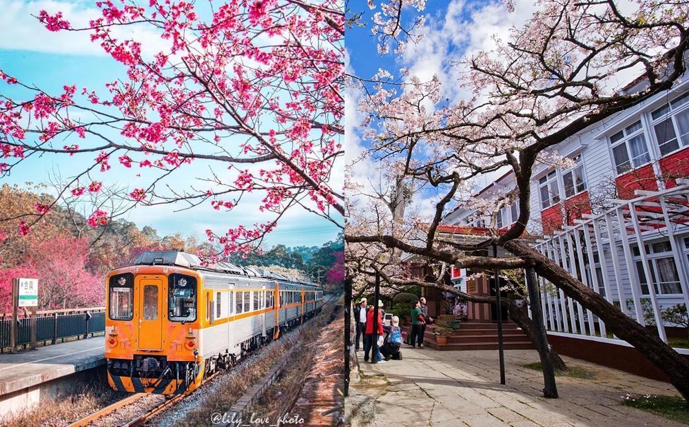 搭蒸汽火車穿梭「阿里山櫻花林」!新竹內灣支線也變身粉嫩愛情車站