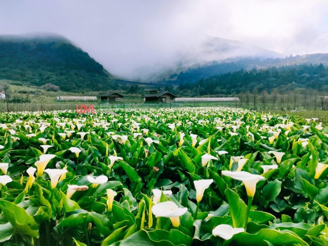 「竹子湖海芋季」雪白花海8成盛開!防疫分流賞花快預約