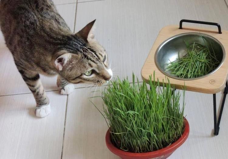 一聞就ㄎㄧㄤ掉!貓咪為何愛吸「木天蓼」? 日本學者解密