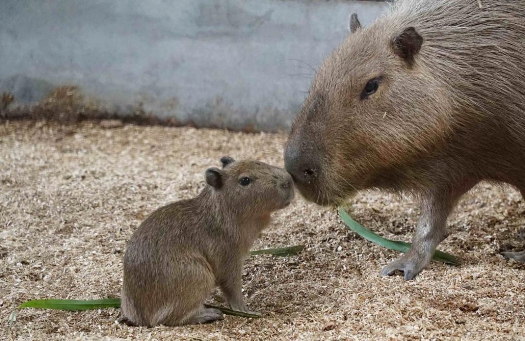 個性疑神疑鬼、寶寶神似天竺鼠?動物園曝「水豚君」天然呆萌小秘密