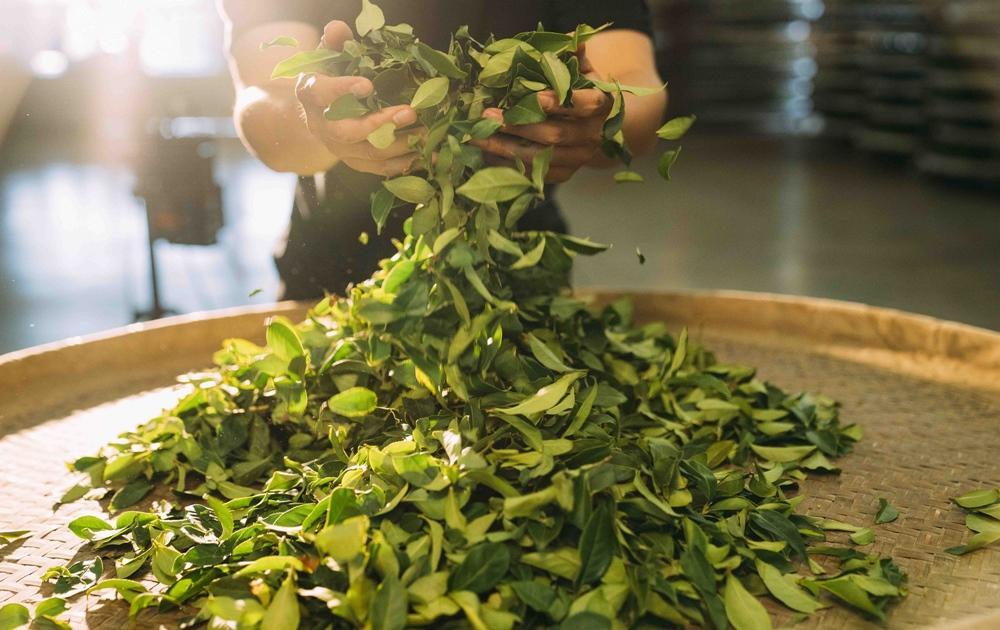你喝的「罐裝茶」是真茶葉?直擊南投茶廠 從採收到製程大公開