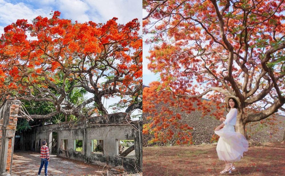 南部3處鳳凰花景點「爆炸式盛開」!高雄最美廢墟鳳凰木、台南廟宇花海怒放