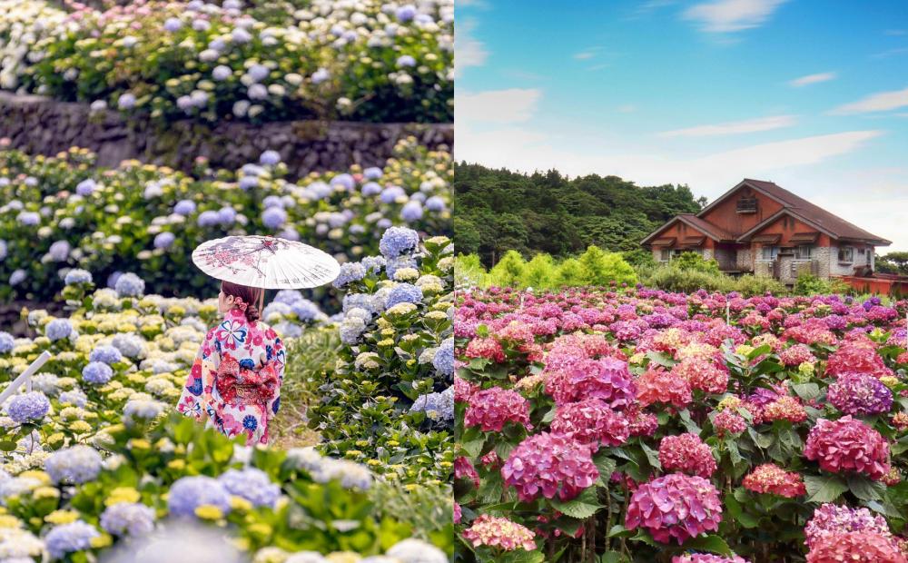 「竹子湖繡球花季」開放線上賞花!最新爆開花況、日式和服美照療癒心情