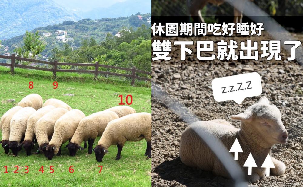 南投清境農場休園滿一個月!每日更新少了遊客「羊咩咩群聚梗圖」網友笑翻