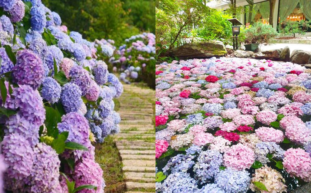 武陵農場「水上繡球花」媲美日本花手水!網友狂讚:無人風景最美