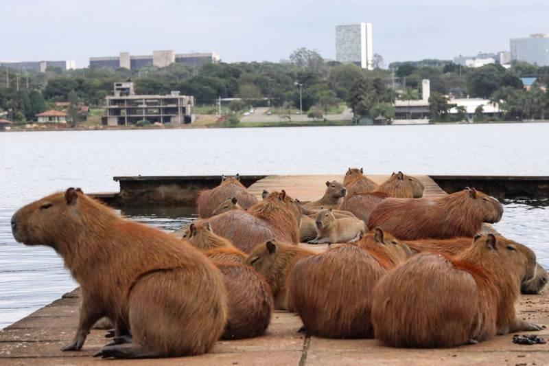 水豚君大暴走!阿根廷富人區遭百隻水豚入侵還咬傷狗