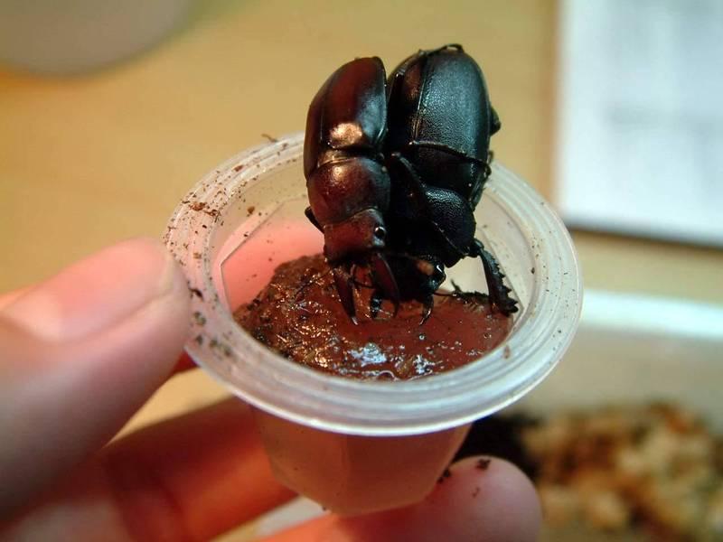 「甲蟲果凍」是什麼味道?天兵老爹狂嗑 6 顆大讚好吃結果GG了