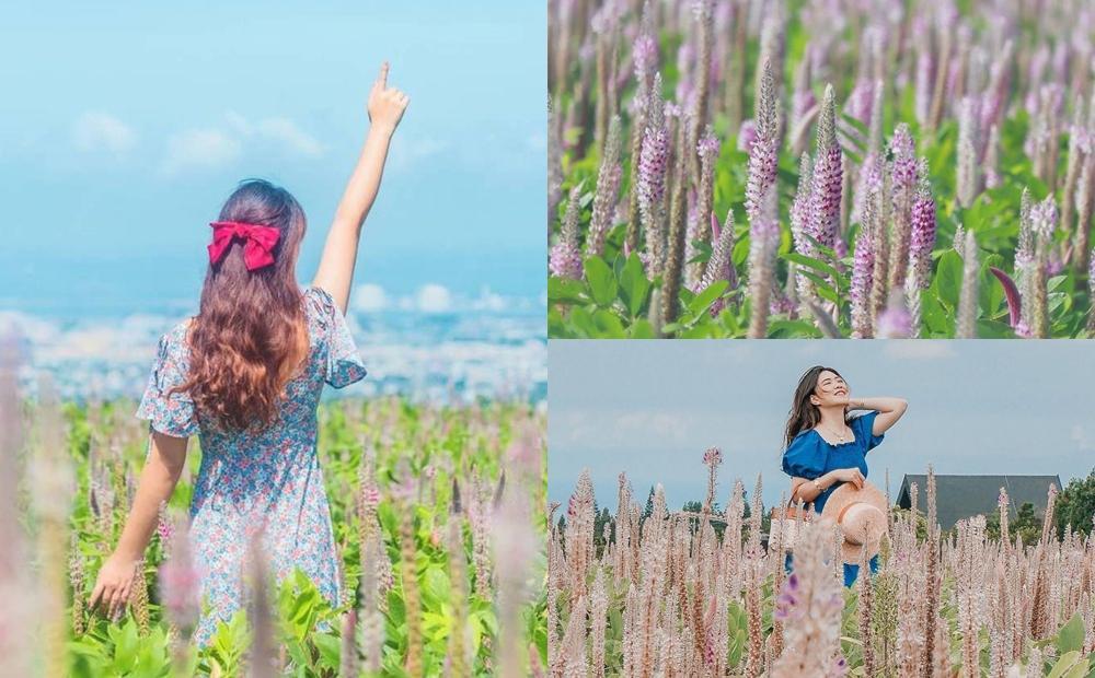 粉紫花海、百萬市景一起入鏡!台中隱藏版「兔尾草田」美景不輸普羅旺斯