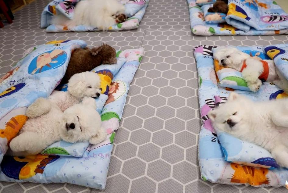 狗狗幼稚園的日常太可愛!萌犬午休集體排排睡融化網友